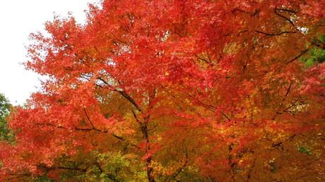 ちょうど見ごろとなった紅葉する楓