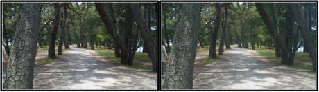 遊歩道の松並木をゆったりと歩きます 3D画像(平行法)