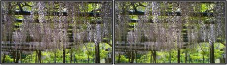 藤の花の香りに包まれた日陰はホッとします(平行法用立体画像)
